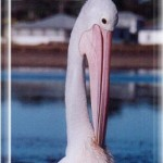 burrill-lake-pelican